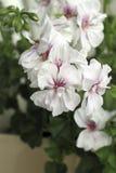 白色天竺葵 库存图片