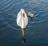 白色天鹅做父母机智小的逗人喜爱的灰色小鸡 图库摄影