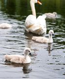 白色天鹅做父母机智小的逗人喜爱的灰色小鸡 免版税库存图片