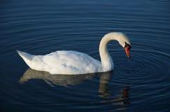 白色天鹅反射 免版税库存照片