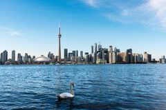 白色天鹅和多伦多地平线 免版税库存图片