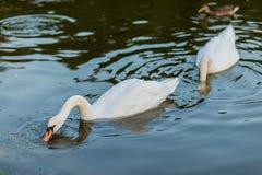白色天鹅和鸭子在夏天湖游泳 图库摄影