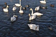 白色天鹅和鸭子在湖 免版税库存图片