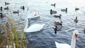 白色天鹅和鸭子慢动作 股票录像