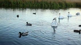 白色天鹅和鸭子慢动作 影视素材