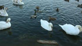 白色天鹅和鸭子慢动作 股票视频