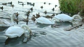 白色天鹅和鸭子 股票视频