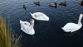 白色天鹅和鸭子 影视素材