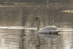 白色天鹅在一个晴朗的早晨 库存图片