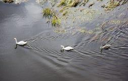 白色天鹅在水中 漂浮在河的天鹅 免版税库存图片