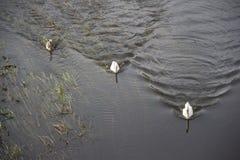 白色天鹅在水中 漂浮在河的天鹅 免版税库存照片