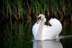 白色天鹅在池塘 免版税库存图片