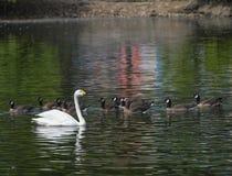 白色天鹅在湖大海漂浮  库存图片