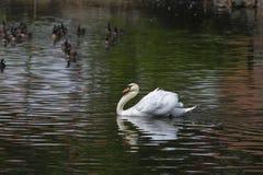 白色天鹅在湖大海漂浮  图库摄影