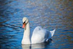 白色天鹅在湖或在池塘 被弄脏的背景 在水反映的蓝天 库存图片