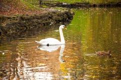 白色天鹅在湖 免版税库存照片