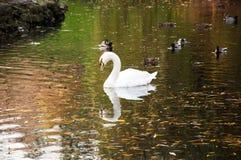 白色天鹅在湖 库存图片