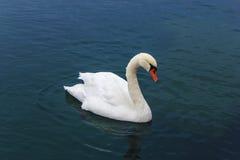 白色天鹅在蓝色湖 图库摄影