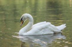 白色天鹅在水中 库存照片