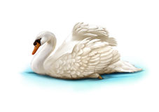 白色天鹅在水中 库存图片