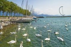 白色天鹅在洛桑,瑞士在Ouchy口岸小游艇船坞 库存照片