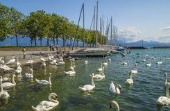 白色天鹅在洛桑,瑞士在Ouchy口岸小游艇船坞 免版税图库摄影