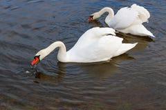 白色天鹅夫妇与被展开的翼的漂浮河的水表面上 库存图片