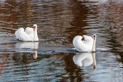 白色天鹅夫妇与被展开的翼的漂浮河的水表面上 库存照片