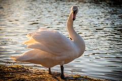 白色天鹅摆在 免版税库存照片