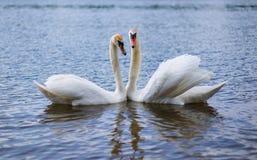 白色天鹅是一只非常美丽的鸟 免版税库存图片
