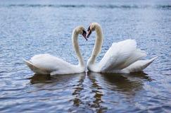 白色天鹅是一只非常美丽的鸟 免版税库存照片