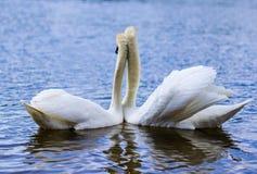 白色天鹅是一只非常美丽的鸟 免版税图库摄影