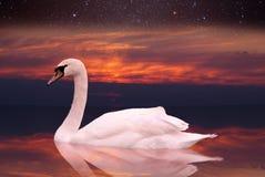 白色天鹅游泳在日落的一个池塘。 库存照片