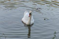 白色天鹅游泳在有小乌龟的湖 免版税库存照片
