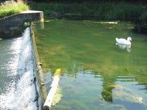 白色天鹅游泳在有测流堰的一条河 免版税库存照片