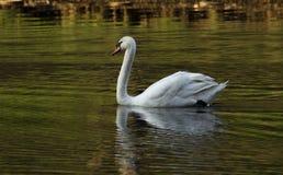白色天鹅游泳在池塘 免版税库存图片