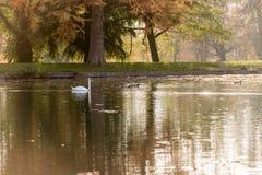 白色天鹅游泳在湖在秋天 库存照片