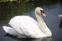 白色天鹅游泳在湖在荷兰waddinxveen 库存照片