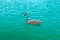 白色天鹅游泳在蓝色湖中清楚的水  免版税图库摄影