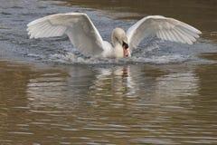 白色天鹅着陆 免版税库存图片
