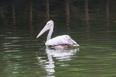 白色天鹅,当游泳在泰国动物园里时 库存照片