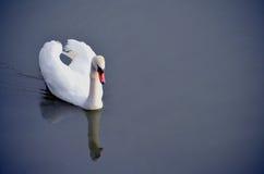 白色天鹅 库存图片