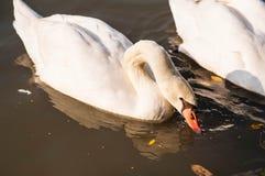 白色天鹅 免版税库存图片
