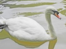 白色天鹅 免版税图库摄影