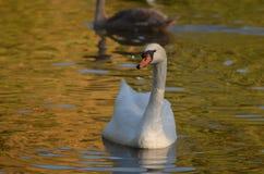 白色天鹅Cygnini在秋天期间的水,与胆怯的优美的美丽的鸟中在近水中对岸 免版税库存图片