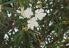 白色夹竹桃或夹竹桃夹竹桃在绽放 免版税库存图片