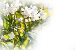 白色夹竹桃花、春天或者夏天背景 免版税图库摄影