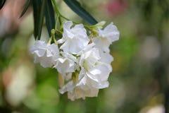 白色夹竹桃花和叶子 免版税图库摄影