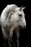 白色奥尔洛夫小跑步马 库存照片