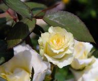 白色奶油玫瑰色夏天背景 图库摄影
